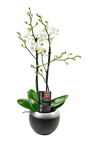 KaBloom Live Orchid Plant Collection: White Phalaenopsis Orchid Plant (18-24 Inches Tall) In a Round Ceramic Bowl Pot