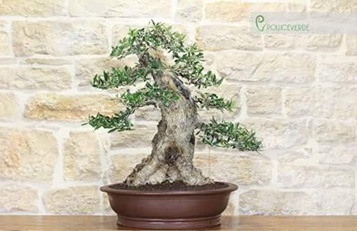 Bonsai yamadori di olivo (1) pollice verde B08BXVZGL1