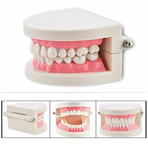 Cisixin Zahnarzt Zähne Demonstration Zahnfleisch Standard Modell Teaching Modell