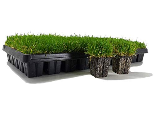 Zoysia Plugs - 200 Large Grass Plugs - Drought Tolerant, Low Maintenance