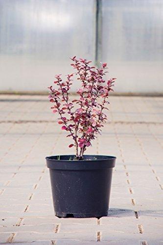 Rote Heckenberberitze Atropurpurea 40-60 cm Strauch für Sonne-Halbschatten Zierstrauch rotes Laub Terrassenpflanze winterhart 1 Pflanze im Topf