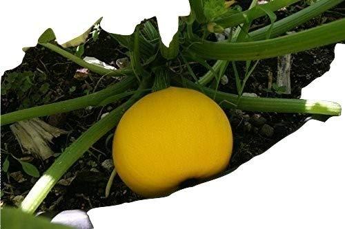 Ungarische seltene Zitronen Zucchini, schnellwachsend und ertragreich, 10 Samen, von unserer ungarischen Farm samenfest, nur organische Dünger, KEINE Pesztizide, BIO hu-öko-01