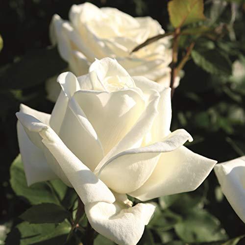Edelrose 'Polarstern'®, weiße...