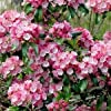 CSNCH Mountain Laurel Bush Seeds (Kalmia Latifolia) 200+Seeds #1
