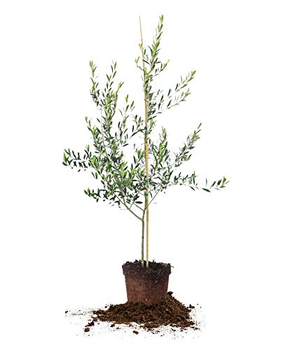 Arbequina Olive Tree - Live Plant, Includes Special Blend...
