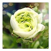 ラナンキュラス ラナンキュラス根茎 ハナキンポウゲ 花金鳳花 奇妙な外観 庭の植物 楽しい体験 デスクトップの花-20 根茎,ホワイト