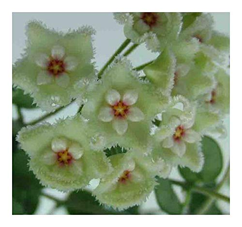 Hoya carnosa white-green - Porzellanblume - Wachsblume - 10 Samen