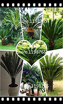 Potseed 100pcs / Bag Cycas Samen, Palmfarn. Blumensamen, The Budding Rate 97% Seltene Topfpflanze für Hausgärten