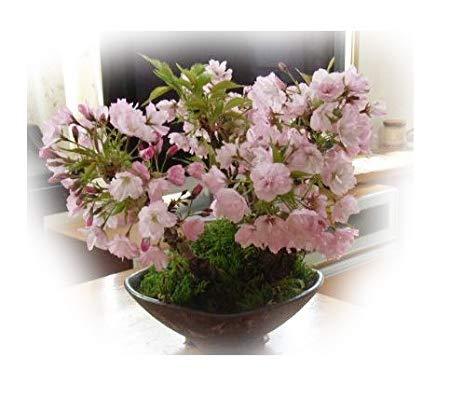 桜の盛り合わせ桜盆栽