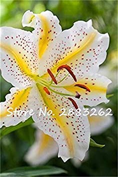 VISTARIC 2ST Gladiolen Zwiebeln, Gladiole Blume (Nicht Gladiolen Samen) Schöne Blumenzwiebeln Symbolisiert Nostalgie, Hausgarten Pflanze Bonsai 23