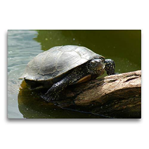 Premium Textil-Leinwand 75 x 50 cm Quer-Format Europäische Sumpfschildkröte (Emys orbicularis)   Wandbild, HD-Bild auf Keilrahmen, Fertigbild auf hochwertigem Vlies, Leinwanddruck von kattobello