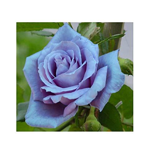 Stk - 1x Clematis Montana Grandiflora - Topf Garten Pflanzen K-P226 - Seeds Plants Shop Samenbank Pfullingen Patrik Ipsa