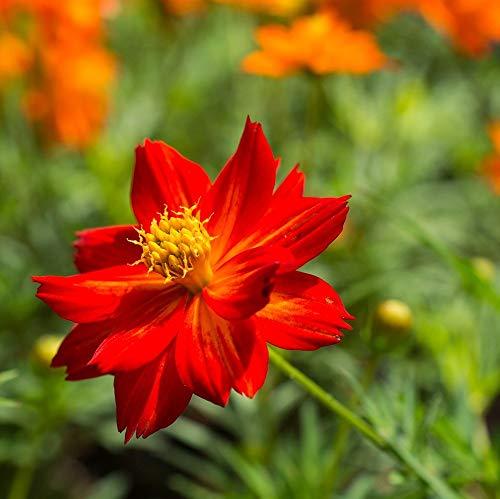Cosmos Diablo seeds - Cosmos bipinnatus - 140 semillas
