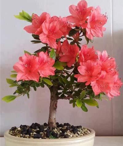 200 Rare pcs/bag Azalea Rhododendrons Azalea garden flowers bonsai flower Plants Looks like Japanese Cherry Blossoms pots : 12