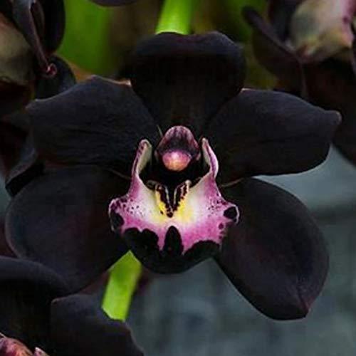 100 Pz/Borsa Semi Di Orchidea Non OGM Attraenti Semi Di Fiori Da Giardino Bonsai Neri Per Semi Di Piante Da Giardino Semi di Cymbidium