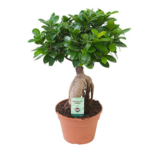 Ficus microcarpa Ginseng   Bonsai Baum   Indoor Zimmerpflanzen   Höhe 40-45cm   Topf-Ø 17cm