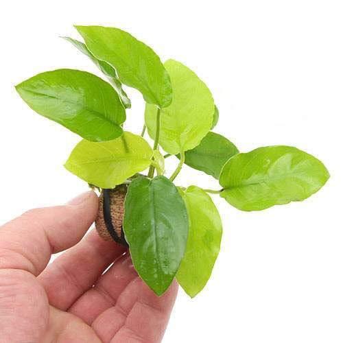 (水草)ライフマルチ(茶) アヌビアスナナ ゴールデン(1個)