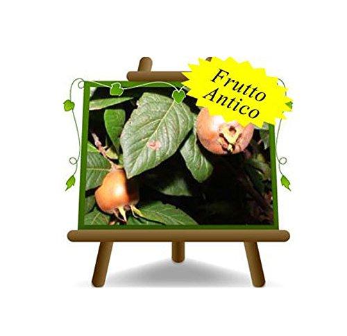 Nespolo di Germania o Nespolo Comune - Pianta da frutto antico su vaso da 20 - max 170 cm - 2 anni