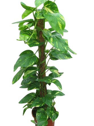 Indoor Plant -House or Office Plant -Scindapsus aureus - Devil's Ivy 100cms