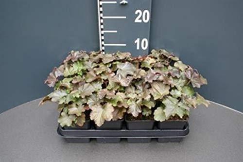 Heuchera micrantha 12 Stück Palace Purple Purpurglöckchen T9x9 Bodendecker