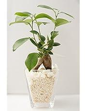 【土を使っていないので衛生的!お部屋のインテリアに】 ハイドロカルチャー 観葉植物 ガジュマル スクエアガラスベース大 白石のせ