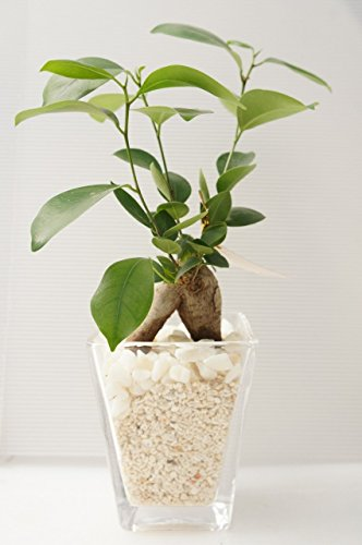 【土を使っていないので衛生的!お部屋のインテリアに】 ハイドロカルチャー 観葉植物 ガジュマル スクエアガラスベース大(サンゴ砂)白石のせ