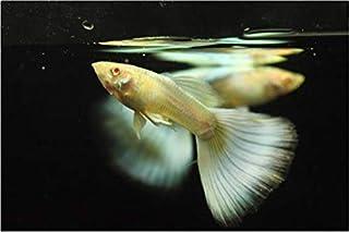 【熱帯魚・国産グッピー】 RREAドイツイエロータキシード・グッピー(ペア) ■サイズ:アダルト (1ペア)