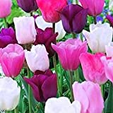 50 Purple Rain Mix Tulip Bulbs - Tulipa Triumph: Super-Sized X-tra Value Bag! Pre-chilled Read for Spring!!-Daylily Nursery