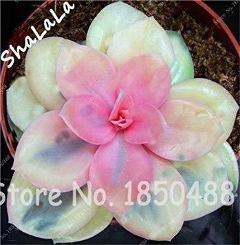 CUSHY 100 Garden Gewächshaus Samen Seltene Sukkulenten Samen, Bonsai Pot Seeds, absorbieren Indoor SEED 9