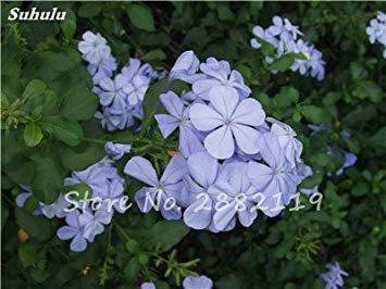 Belle Bonsai Blanc Saxifraga « Neige de printemps » Graines de fleurs vivaces De jardin les plus populaires Nature Plantes à effet de serre 120 Pcs 16