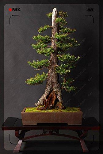 culture 130PC Mini bonsaï (glycines, sapin, érable aquarelle bleu, graines de cerisier) Fleurs avancée