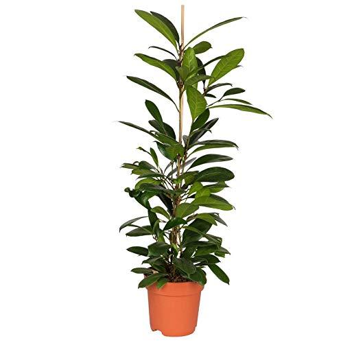 Pflanzen Kölle Geigenfeige (Ficus Cyathistipula) Moderne Raumpflanze, Topf 21 cm, Höhe ca. 110 cm