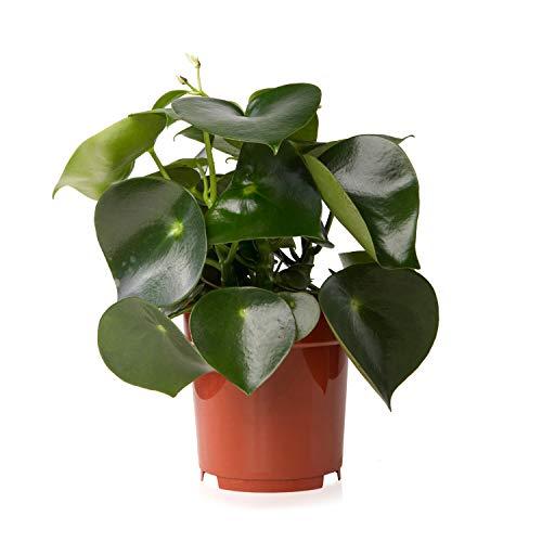 Sense of Home Zimmerpflanze Zierpfeffer Peperomia polybotrya Raindrop - trendige & pflegeleichte Indoorpflanze - Liefergröße inklusive Topf ca. 35 - 45 cm