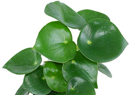 Raindrop Chinese Money Plant - Peperomia polybotrya - 3.75' Pot - Easy to Grow
