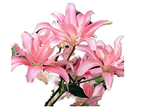 KINGDUO Fleur De Lis Rouge 100Pcs/Pack Egrow Graines Jardin Balcon Intérieur Décoration Bonsai Plants-2