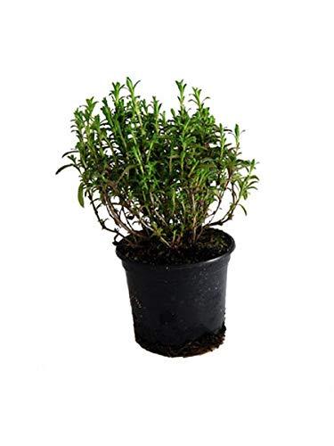 Berg-Bohnenkraut,1 Pflanze Bergbohnenkraut,Satureja montana