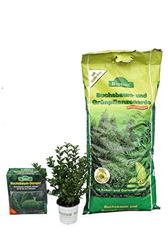 AKTIONSPAKET- Bodendecker Buchsbaum Ersatz - Japanische Stechpalme - Ilex crenata Stokes - 20-30cm im 0,5Ltr. Topf (50 Stück + 20 Ltr. Erde + 1 KG Dünger)