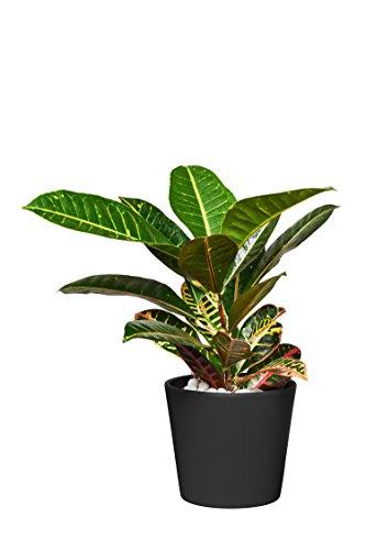 EVRGREEN | Zimmerpflanze Wunderstrauch in Hydrokultur mit schwarzem Topf als Set | Kroton | Croton variegatum \'Petra\'