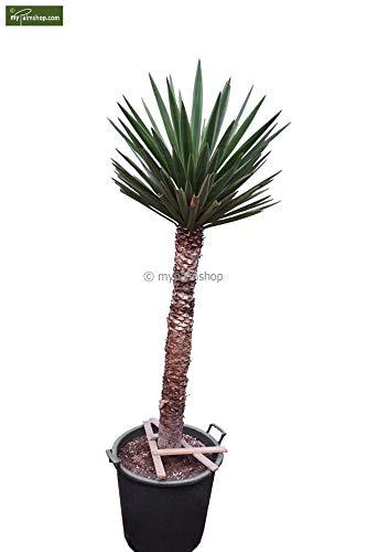 Bajonett Yucca Palmlilie - Yucca treculeana - Stamm 90-100cm Topf Ø 55cm Speditionsversand