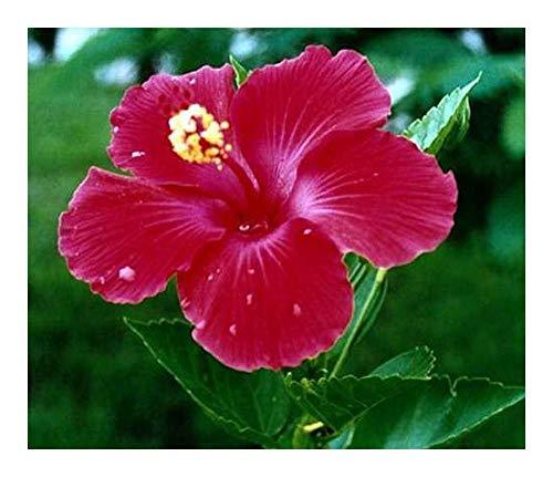 Hibiscus cannabinus - Hibiskus ? Kenaf - 10 Samen