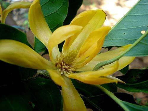 Michelia/Magnolia Champaca – Joy Parfume – Semences d'arbre tropicaux rares (10)