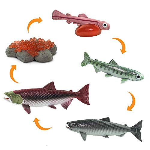 Safari Ltd Safariology Collection – Realistischer Lebenszyklus eines Lachses – 5 separate Teile im Set – ungiftig und BPA-frei – ab 3 Jahren