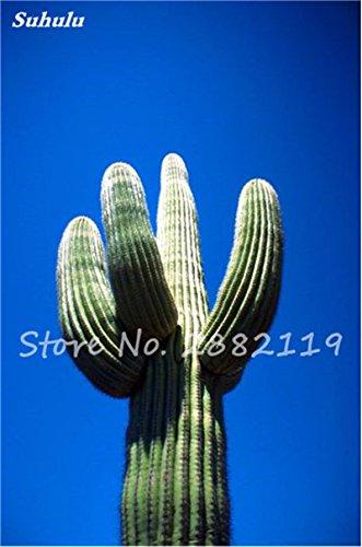 Géant à long Cactus Graines résistant à la chaleur extérieure Succulent Plante en pot Purifier Air Bonsai pour jardin Radioprotection 80 Pcs 9