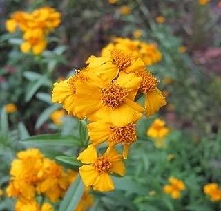 Mexican Mint Marigold Tagetes Lucida 50 seeds Herbal Tea/Soup CombSH B28