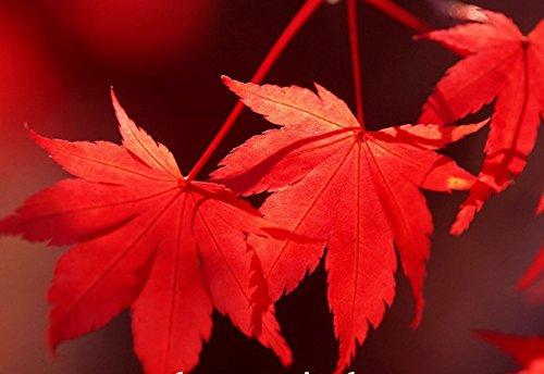 graines de plantes en pot 30 PCS / pack sang rouge américain Érable Graines Bonsai Maison & Jardin Graines de fleurs
