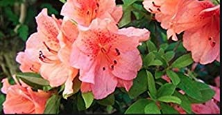 Azalea Duc de Rohan, 4 INCH Pot, Evergreen, Salmon Pink Flower