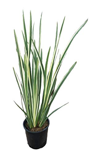 Premier Plant Solutions 16133 Ensata Variegata Variegated Japanese Iris, 19cm