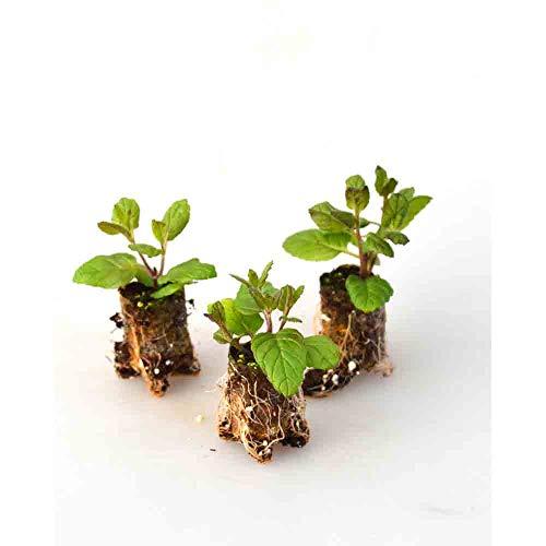 Kräuterpflanzen - Pfefferminze/Garden Mint - Mentha x piperita - 3 Pflanzen im Wurzelballen