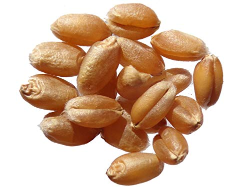 Blé d´Automne - 250 grammes - Triticum Aestivum - Winter Wheat - (Engrais Vert - Green Manure) - SEM26