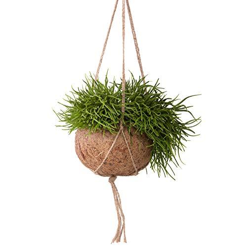 Sense of Home ZimmerpflanzeKokedama Korallenkaktus Rhipsalis cassutha - trendige & pflegeleichte Indoorpflanze im Moosball - Liefergröße ca. 25-30 cm